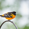 Bright & Beautiful on a Cold, Gray, Rainy Day - Baltimore Oriole (Icterus galbula)... May 5, 2021.