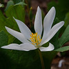 While There's Still A Few In The Garden- Bloodroot (Sanguinaria canadensis)... April 13, 2021.