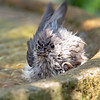 So... it turns out that Fledgling Titmice have Schitt's Creek Eyebrows... Who knew? No photoshop or apps involved... Honest! August 12, 2021.