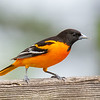 The Boys Are Back in Town! Baltimore Oriole (Icterus galbula)... May 3, 2021.