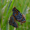 Down in the Grasses Again- Mating Baltimore Checkerspots (Euphydryas phaeton)... June 18, 2021.