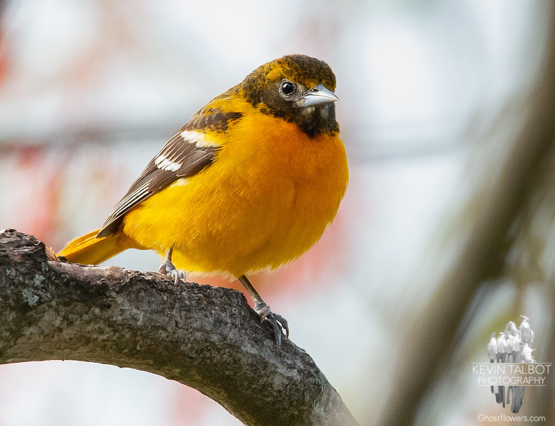 Oh, and by the way, beautiful Mrs. Oriole is back in town, too! May 4, 2021.