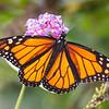 Monarch in the Garden this Morning... September 5, 2021.