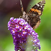 In Our Garden this Morning- Painted Lady (Vanessa cardui)... July 30, 2021.