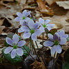 Today on the Forest Floor as the Rain Began- Round-lobed Hepatica (Anemone americana)... April 21, 2021.