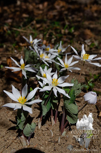 This Afternoon in Our Garden- Bloodroot (Sanguinaria canadensis)... April 8, 2021.