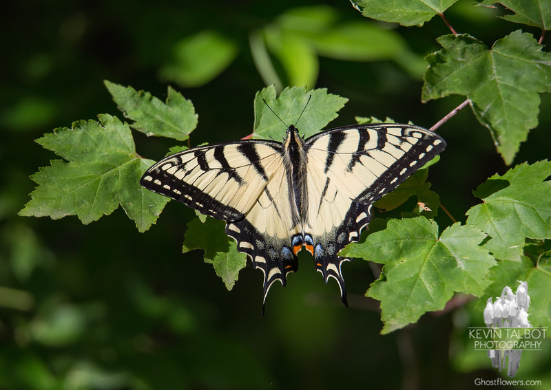 Just a Moment's Rest Today in the Sun- Canadian Tiger Swallowtail (Papilio canadensis)... June 13, 2020.