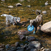 Hot Dogs in Cold River- Blue & Wicket trying to stay cool, but the water was really warm... June 20, 2020.