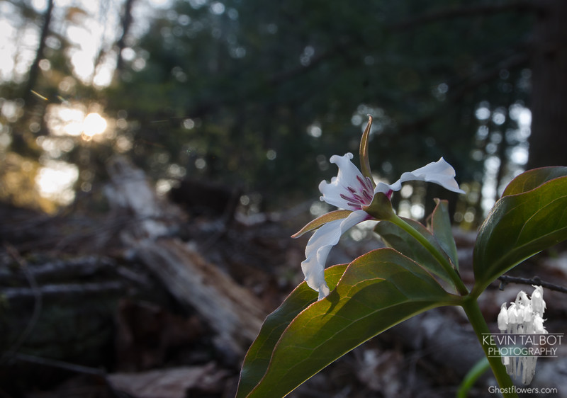 Last Rays of this Evening's Light Reach this Painted Trillium Deep in a Wood Near Home... May 13, 2020.
