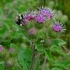 Still working on a Friday Night- American Bumblebee (Bombus pennsylvanicus)Common Burdock (Arctium minus)... July 17, 2020.