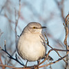 Not sure what to make of my clicking camera- Mockingbird (Mimus polyglottos)... January 2, 2020.