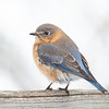 May the Bluebird of Happiness Lite on Your Shoulder as You Enter the New Year, and New Decade! January 1, 2020.