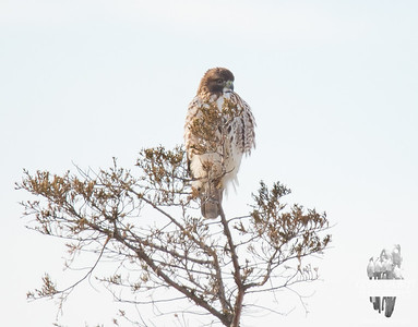 """Surveying """"His"""" Marsh today in Salisbury-Red Tailed Hawk (Buteo jamaicensis)... January 21, 2020."""
