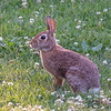 Just One of the Locals- Eastern Cottontail (Sylvilagus floridanus)... June 25, 2020.
