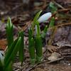 Today in our garden- Garden Snowdrop (Galanthus nivalis)... February 26, 2020.
