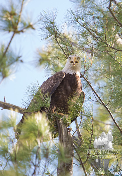 Life on the Powow- Where Eagles Land in Your Pine Tree... May 7, 2020.
