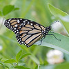 """""""Beren, I've been looking for the first Monarch of the year."""" A moment later this landed in front of me- I will always believe you're there... July 2, 2020."""