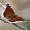 In a Field Near home- Mourning Cloak (Nymphalis antiopa)... June 4, 2020.