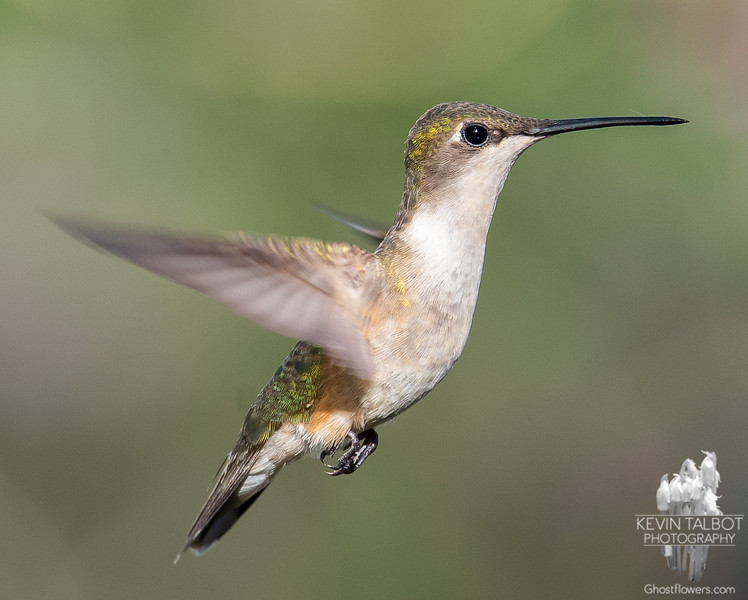 Little Girl Dropped by to Visit- Ruby-throated Hummingbird (Archilochus colubris)... May 22, 2020.