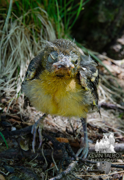 This Poor Little Bugger is Having a Bad Day- He's just a little too young to fledge- I put him in a tree and the parents have found him-the rest is up to Nature-Hoping things will work out! Send Him Some Love! June 19, 2020.