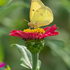 Garden Meditation- Clouded Sulpher (Colias philodice)... September 9, 2020.