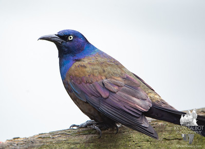 More Angry Birds: Common Grackle (Quiscalus quiscula)... May 9, 2020.