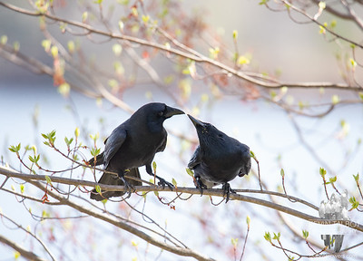 Crow Kisses... May 5, 2020.