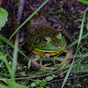 Mr. Bullfrog was resting quietly on the banks of the Powow until Wicket nearly stepped on him and he jumped into my lap in the kayak... July 7, 2020.