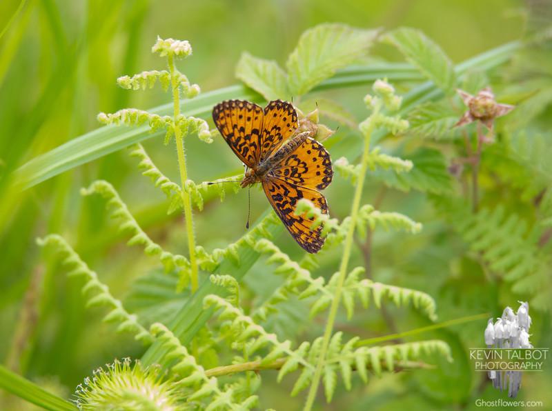 Today in a Field Near Home- Silver-bordered Fritillary (Boloria selene)... June 11, 2020.