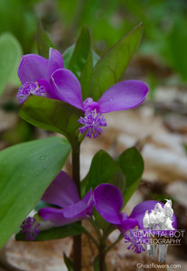 Today on a Forest Floor Near You- Fringed Polygala (Polygala paucifolia)... May 11, 2020.