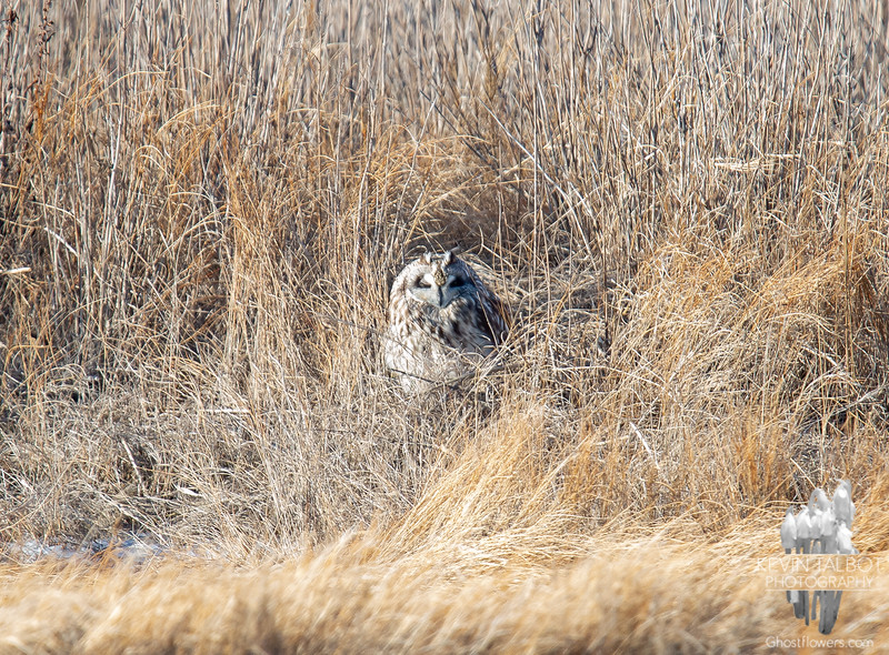 Came across a lesser-known Arctic Visitor today- Short-eared Owl (Asio flammeus) It looks warm in the sun, but take my word, it was frigid... January 17, 2020.