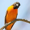 I Wonder if He'll Tell His Friends He Had His First Kevin Sighting of the Season Today- Baltimore Oriole (Icterus galbula_... May 3, 2020.