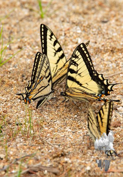 Swallowtail Convention Today at Chocorua Lake... June 22, 2020.