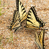 Swallowtail Convention Today at Chocorua Lake... June 22, 2020.