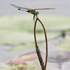 Just Me & My Pal Chillin' on the Powow- Blue Dasher (Pachydiplax longipennis)... July 10, 2020.