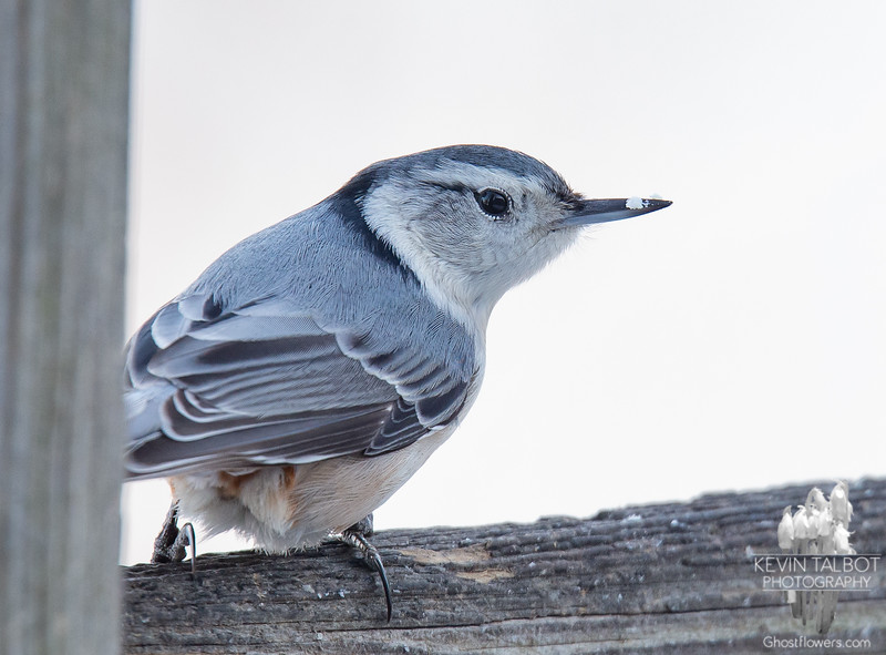 Just a Nuthatch with a snowflake on his beak- White-breasted Nuthatch (Sitta carolinensis)... January 19, 2020.