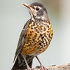 This Handsome Fledgling Robin Came to Visit This Morning-Good luck in the Big World Little One... June 1, 2020.
