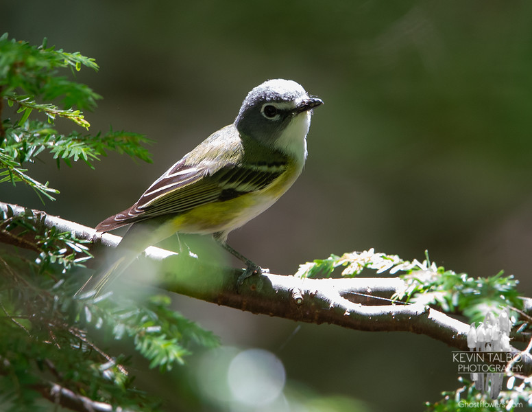 Cute Little Forest Friend at Camp- Solitary Vireo (Vireo solitarius)... June 17, 2020.