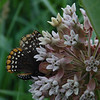 Milkweed is in bloom but no Monarchs here yet- this is a Baltimore Checkerspot (Euphydryas phaeton)... June 30, 2020.
