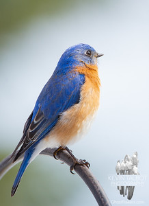 "Mr. Bluebird brought me a message this morning he wanted me to share with you- ""Keep Looking Up!"" March 24, 2020."