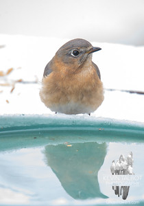 Mrs. Bluebird Reflects on Yesterday's 70* Temps and this Morning's Snow... January 13, 2020.