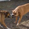 When Rescue Bestie's Play Tug-o-War- Moxie & Charly... February 23, 2020.