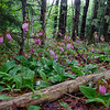Invasion of the Lady's Slippers Part 2... June 6, 2020.