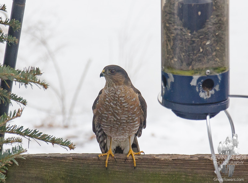 Not looking for sunflower seeds- Sharp-shinned Hawk (Accipiter striatus)... February 9, 2020.