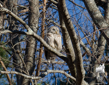 Not my best Owl photo, highly cropped and over-sharpened, but will have to do. Soaking up the rays at the edge of a field- Barred Owl (Strix varia)... January 29, 2020.