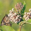 MMM- Monarchs Mating on Milkweed... July 9, 2020.