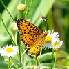 Today in a Field Near Home- Silver-bordered Fritillary (Boloria selene) on Daisy Fleabane (Erigeron annuus)... July 6, 2020.