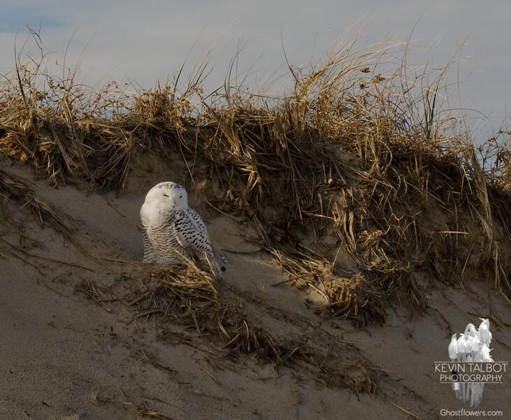 Snowy Owl (Nyctea scandiaca)... December 9, 2011.