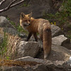 Franconia Notch Fox. She was beautiful... Red Fox (Vulpes vulpes)<br /> May 22, 2010.