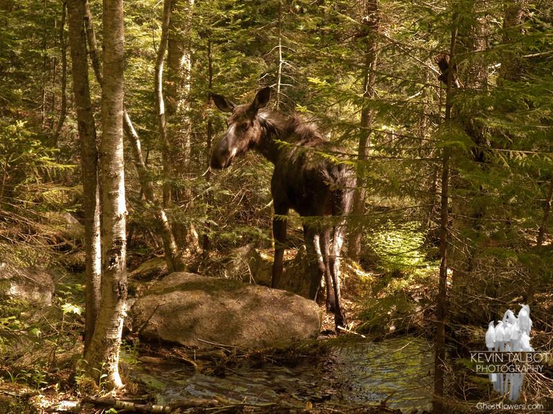 Moose (Alces alces) June, 4 2011.